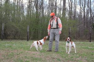 Quail hunt with dogs